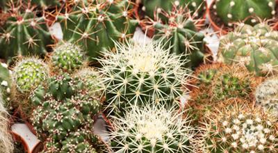Cactussen en vetplanten tuincentrum thiels heist-op-den-berg leuven mechelen