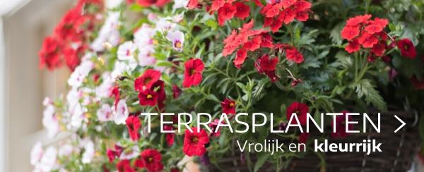Terrasplanten