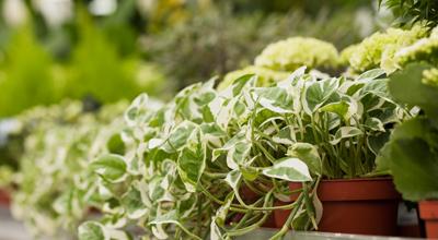 Groene kamerplanten tuincentrum thiels heist-op-den-berg leuven mechelen