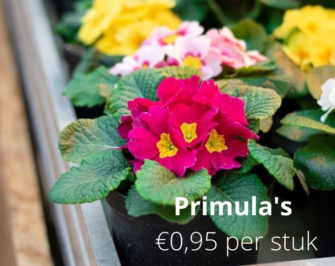 Primula - Thiels