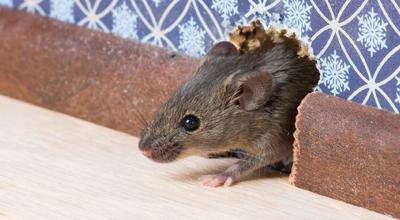 Ratten en muizen tuincentrum thiels heist-op-den-berg leuven mechelen
